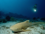 Leopard Shark (Stegostaoma Varium) Being Observed by a Scuba Diver Photographic Print by Reinhard Dirscherl
