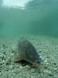 Carp (Cyprinus Carpio), Germany Photographic Print by Reinhard Dirscherl