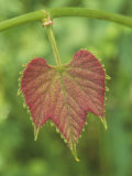 Young Wild Grape Leaf, Vitis Photographic Print by Arthur Morris