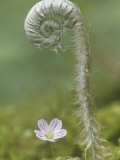 Fern Fiddlehead and a Spring Beauty Spring Wildflower, Claytonia Caroliniana, Eastern North America Photographic Print by Adam Jones