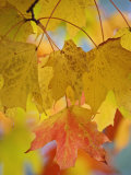 Maple Leaves in the Fall (Acer) Photographic Print by Adam Jones