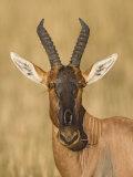 Topi Head, Damaliscus Lunatus, Maasai Mara, Kenya, Africa Photographic Print by Arthur Morris
