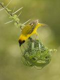Vitelline Masked Weaver, Ploceus Vitellinus, Kenya, Africa Papier Photo par Joe McDonald