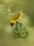 Vitelline Masked Weaver, Ploceus Vitellinus, Kenya, Africa Photographic Print by Joe McDonald