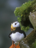 Horned Puffin (Fratercula Corniculata), St. George Island, Alaska, USA Photographie par Tom Walker