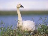 Tundra Swan (Cygnus Columbianus), Alaska, USA Photographic Print by Steve Maslowski