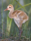 Sandhill Crane Chick in the Nest, Grus Canadensis, Florida, USA Photographic Print by Arthur Morris