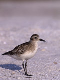 Black-Bellied Plover in Winter Plumage (Pluvialis Squatarola), Florida, USA Photographic Print by Tom Walker