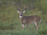 White-Tailed Deer Photographic Print by Jack Michanowski