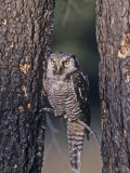 Northern Hawk Owl (Surnia Ulula), USA Photographie par Tom Ulrich