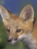 Face of Red Fox, Vulpes Vulpes, North America Photographic Print by Arthur Morris