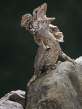 Frilled Lizard, Chlamydosaurus Kingi, Displaying, Australia Photographic Print by Joe McDonald