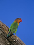 Fischer's Lovebird, Agapornis Fischeri, Serengeti National Park, Tanzania, Africa Papier Photo par Joe McDonald