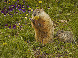 Woodchuck, Marmota Monax, or Groundhog Eating a Dandelion, Eastern North America Photographic Print by Jack Michanowski