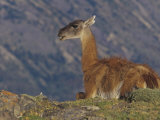 Guanaco, Lama Guanicoe, Chile, South America Photographic Print by Joe McDonald