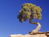 Utah Juniper (Juniperus Osteosperma), Southwestern North America Photographic Print by Fritz Polking