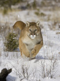 A Puma, Cougar or Mountain Lion, Running Through the Snow, Felis Concolor, North America Photographic Print by Joe McDonald