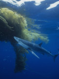 Blue Shark (Prionace Glauca) under a Mass of Drifting Kelp (Macrocystis), California, USA Photographic Print by Richard Herrmann