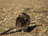 Roadrunner Sunbathing, Geococcyx Californianus, Western North America Photographic Print by Charles Melton