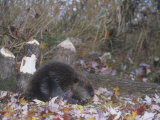 Beaver Next to Recently Felled Trees, Castor Canadensis, North America Photographic Print by Bill Banaszewski