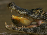 Spectacled Caiman, Caiman Crocodilus, in Water Feeding on a Fish. Pantanel, Brazil Photographic Print by Charles McRae