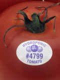 Hydroponic Tomato Photographic Print by Wally Eberhart