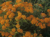 Butterfly Weed (Asclepias Tuberosa), North America Photographic Print by Robert Domm