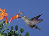 Female Anna's Hummingbird, Calypte Anna, Feeding at a Flower, California, USA Photographic Print by Charles Melton