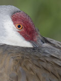 Sandhill Crane Resting Bill in Scapular Feathers, Grus Canadensis, Florida, USA Photographic Print by Arthur Morris