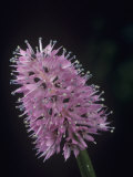 Swamp Pink Flowers (Helonias Bullata), a Threatened Species, Liliaceae, Eastern North America Photographic Print by Rob & Ann Simpson