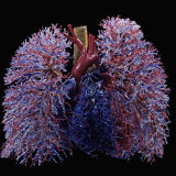 Resin Cast of Lungs, Heart, Blood Vessels, and Air Passages, Anterior View Photographic Print by Ralph Hutchings