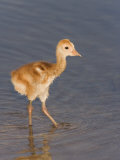 Sandhill Crane Chick Wading in Water, Grus Canadensis, Florida, USA Photographic Print by Arthur Morris