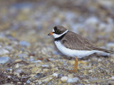 Semipalmated Plover (Charadrius Semipalmatus), USA Photographic Print by Arthur Morris