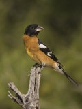 Black-Headed Grosbeak Male (Pheucticus Melanocephalus) on a Snag, Arizona, USA Photographic Print by Charles Melton