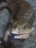 Northern Blue-Tongued Skink, Tiliqua Scincoides Intermedia, Australia Fotografisk trykk av Jim Merli