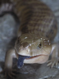 Northern Blue-Tongued Skink, Tiliqua Scincoides Intermedia, Australia Photographic Print by Jim Merli