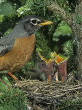 American Robin at its Nest with Two Baby Birds, Turdus Migratorius, . North America Photographic Print by John & Barbara Gerlach