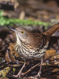 Brown Thrasher, Toxostoma Rufum, . Texas, USA Photographic Print by Charles Melton