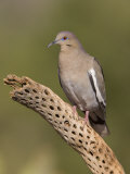 White-Winged Dove Photographic Print by Jack Michanowski