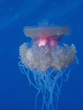 Crown Jellyfish (Netrostoma Setouchina), Red Sea, Egypt Photographic Print by Reinhard Dirscherl