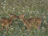 Two White-Tailed Deer Fawns in Wildflower Meadow, Odocoileus Virginianus, North America Photographic Print by Jack Michanowski