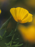 Mexican Gold Poppy, Eschscholzia Mexicana, Picacho Peak State Park, Arizona, USA Photographic Print by Gerald & Buff Corsi