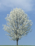 Bradford Pear in Full Bloom Against a Blue Sky Photographic Print by Adam Jones