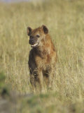 Spotted Hyena on the Savanna, Crocuta Crocuta, Masai Mara, Kenya, Africa Photographic Print by Adam Jones