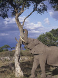 African Elephant with a Savanna Tree, Loxodonta Africana, Masai Mara Game Reserve, Kenya, Africa Fotodruck von Gerald & Buff Corsi