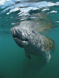 West Indian Manatee, Trichechus Manatus Latirostris, Usa, Florida, Fl, Everglades Photographie par Reinhard Dirscherl