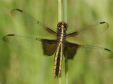 Widow Skimmer Dragonfly (Libellula Luctuosa) Photographic Print by Robert Servrancky