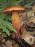 Frost's Bolete on the Forest Floor with Ferns and Leaf Litter (Boletus Frostii), North America Photographic Print by Rob & Ann Simpson