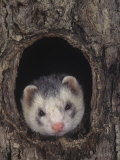 European Ferret, Mustela Furo, a Common Pet Photographic Print by Joe McDonald