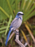 Florida Scrub Jay (Aphelocoma Coerulescens), Florida Keys, USA Photographic Print by Arthur Morris